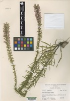 Isotype of Liatris provincialis R.K. Godfrey [family ASTERACEAE]