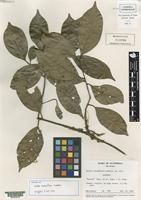 Isotype of Ocotea racemiflora Lundell [family LAURACEAE]