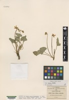 Isotype of Viola nuevo-leonensis W. Becker [family VIOLACEAE]