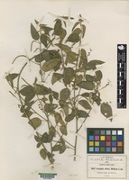 Isotype of Acalypha dioicia s. Watson [family EUPHORBIACEAE]