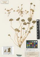 Isotype of Claytonia depressa (A. Gray) Suksd. [family PORTULACACEAE]