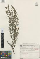 Isotype of Hypericum campestre Cham. & Schltdl. subsp. pauciflorum N. Robson [family CLUSIACEAE]