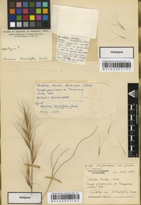 Type of Aristida teretifolia Arechav. [family POACEAE]