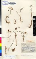 Isotype of Ornithogalum tubiforme (Oberm.) Oberm. [family HYACINTHACEAE]