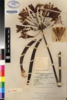 Isotype of Agapanthus comptonii F.M.Leight. subsp. comptonii [family AGAPANTHACEAE]