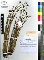 Isotype of Restio elsieae H.P.Linder [family RESTIONACEAE]