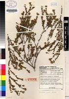 Isotype of Sheilanthera pubens I.Williams [family RUTACEAE]