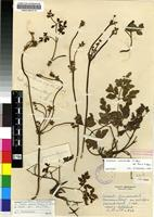 Isotype of Knowltonia anemonoides H.Rasm. subsp. tenuis H.Rasm. [family RANUNCULACEAE]