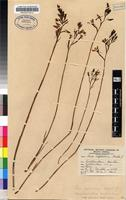 Filed as Disa gladioliflora Burch. ex Lindl. subsp. gladioliflora [family ORCHIDACEAE]