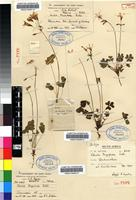 Isotype of Oxalis tragopoda T.M.Salter [family OXALIDACEAE]