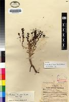 Isotype of Jamesbrittenia bicolor (Dinter) Hilliard [family SCROPHULARIACEAE]