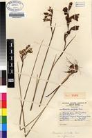 Holotype of Gladiolus pritzelii Diels [family IRIDACEAE]