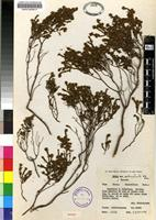 Isotype of Erica setociliata H.A.Baker [family ERICACEAE]