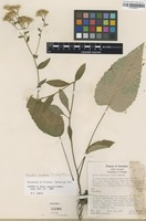 Isotype of Aster jonesiae Lamboy [family ASTERACEAE]