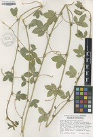 Isotype of Arachis glandulifera Stalker [family FABACEAE]