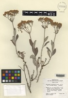 Isotype of Eriogonum corymbosum Benth. var. davidsei Reveal [family POLYGONACEAE]