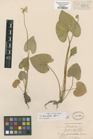Original material of Viola prionosepala Greene [family VIOLACEAE]