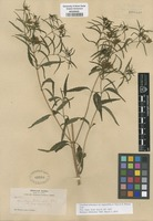 Type of Guardiola tulocarpus A. Gray var. angustifolia A. Gray ex S. Watson [family ASTERACEAE]