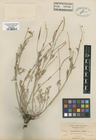 Type of Eschscholzia confinis Greene ex C.F. Baker [family PAPAVERACEAE]