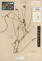 Original material of Platystemon capsularis Greene [family PAPAVERACEAE]