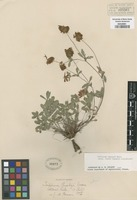 Original material of Trifolium longipes Nutt. ssp. rusbyi (House) J.M. Gillett [family FABACEAE]