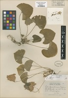 Original material of Viola familiaris Greene [family VIOLACEAE]