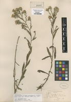 Original material of Aster militaris Greene [family ASTERACEAE]
