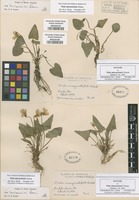 Original material of Viola missouriensis Greene [family VIOLACEAE]