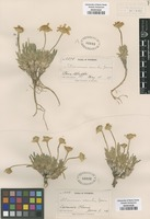 Original material of Tetraneuris acaulis (Pursh) Greene [family ASTERACEAE]