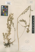Original material of Polemonium occidentale Greene [family POLEMONIACEAE]