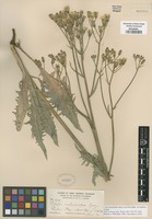 Isotype of Crepis acuminata Nutt. ssp. pluriflora Babc. & Stebbins [family ASTERACEAE]