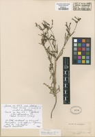 Lectotype of Mentzelia affinis Greene [family LOASACEAE]