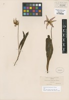 Type of Erythronium hendersonii S. Watson [family LILIACEAE]