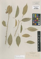 Type of Ficus sonorae S. Watson [family MORACEAE]