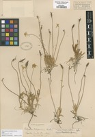 Type of Platystemon californicus Benth. [family PAPAVERACEAE]