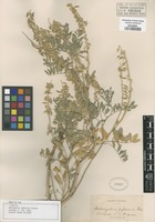 Holotype of Astragalus demissus Boiss. & Heldr. [family FABACEAE]