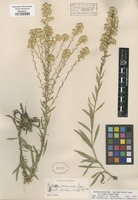 Original material of Solidago racemosa Greene [family ASTERACEAE]
