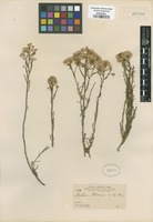 Isotype of Baccharis potosina A. Gray [family ASTERACEAE]