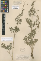 Original material of Thalictrum fissum Greene [family RANUNCULACEAE]