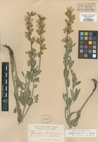 Original material of Thermopsis stricta Greene [family FABACEAE]