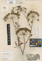 Original material of Cicuta purpurata Greene [family APIACEAE]