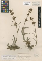 Original material of Penstemon interruptus Greene [family SCROPHULARIACEAE]