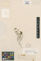Isotype of Baeria palmeri A. Gray var. clementina A. Gray [family ASTERACEAE]