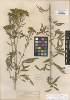 Type of Tagetes lemmonii A. Gray [family ASTERACEAE]