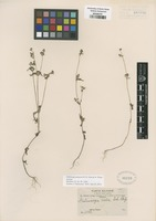Isotype of Galinsoga purpurea H. St. John & D. White [family ASTERACEAE]