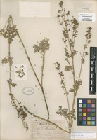 Isotype of Thalictrum fendleri Engelm. ex A. Gray [family RANUNCULACEAE]
