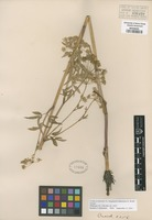 Isotype of Cicuta occidentalis Greene fo. oregonensi-idahoensi H. Wolff [family APIACEAE]