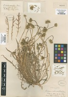 Original material of Microseris melanocarpha Greene [family ASTERACEAE]