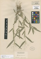 Isotype of Panicum helleri Nash [family POACEAE]