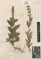 Original material of Stachys scopulorum Greene [family LAMIACEAE]